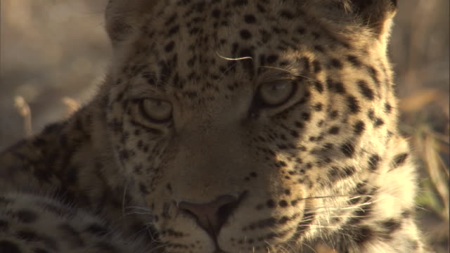 "stockvideo's en b-roll-footage met two leopard cubs rest together. - ""bbc natural history"""