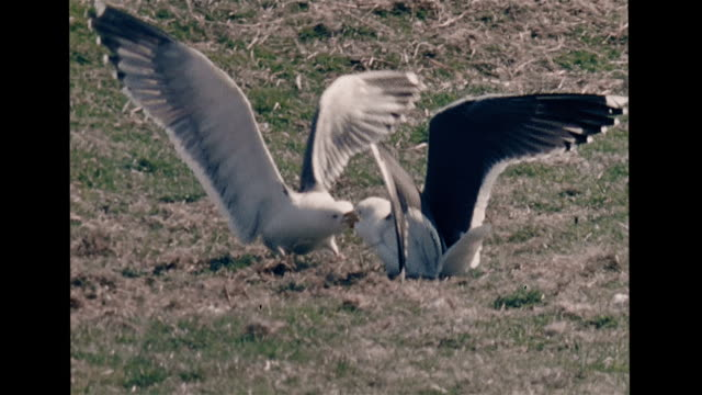 two lesser black-backed seagull males fighting, beaks locked in combat & wings extended, defeated gull leaving, seagull voicing territorial call,... - ominous stock videos & royalty-free footage