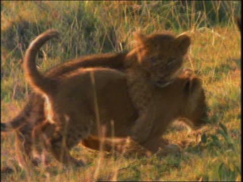 vídeos y material grabado en eventos de stock de two lion cubs playing + wrestling in grass - animales de safari