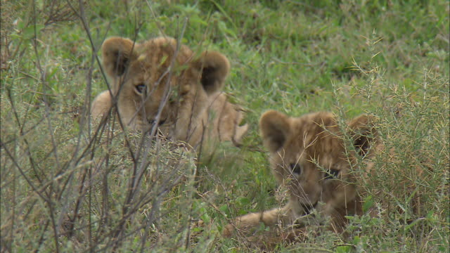 two lion cubs sitting on the grass at serengeti national park, tanzania - carnivora stock videos and b-roll footage