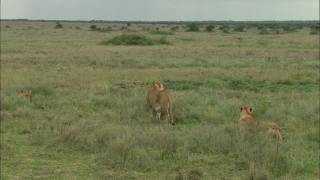two lionesses and lion cubs on the grass at serengeti national park, tanzania - carnivora stock videos and b-roll footage