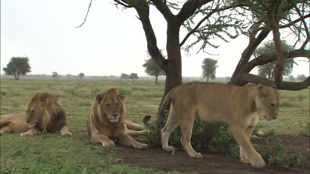 two lionesses and two lions sitting down on the grass at serengeti national park, tanzania - サファリ動物点の映像素材/bロール