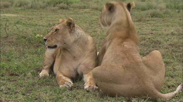 vídeos y material grabado en eventos de stock de two lionesses sitting down on the grass at serengeti national park, tanzania - boca de animal