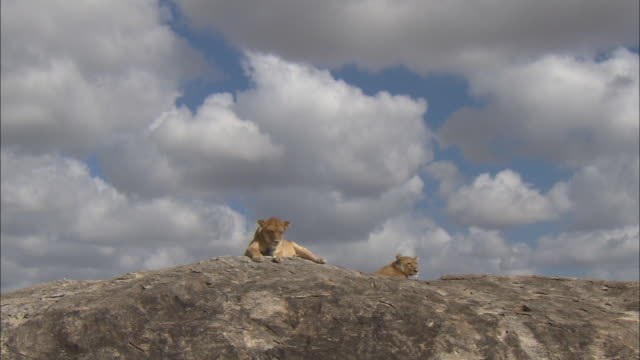 two lionesses sitting down on the rock at serengeti national park, tanzania - carnivora stock videos and b-roll footage