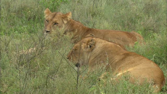 two lionesses sitting on the grass at serengeti national park, tanzania - carnivora stock videos and b-roll footage