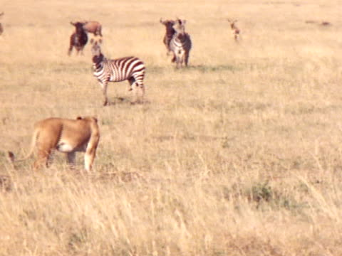 Two lionesses stalk a group of nervous wildlife