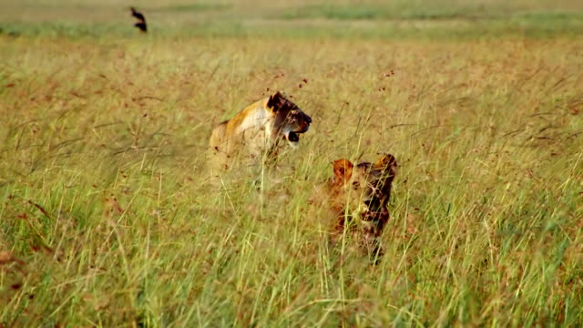 ms two lionesses standing with open mouths in long grass / masai mara, kenya - two animals stock videos & royalty-free footage