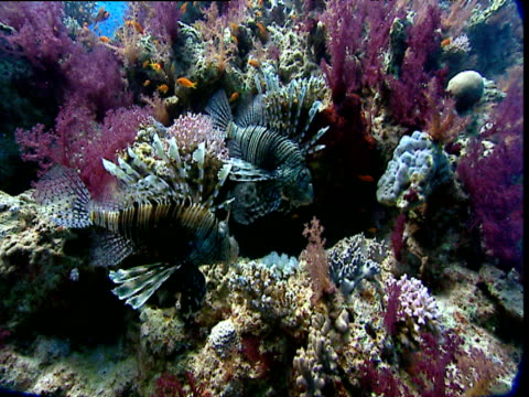 Two lionfish swim over coral, Red Sea