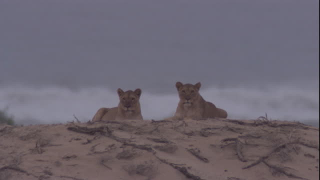 two lions sit by the sea, skeleton coast, namibia. available in hd. - namibia stock videos & royalty-free footage