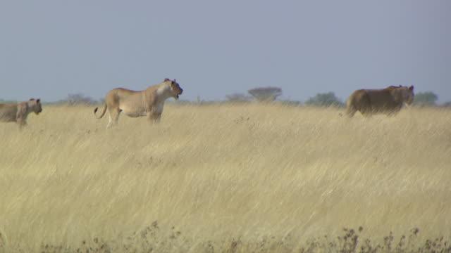 ms ts pan two lions walking in field / limpopo, south africa - liten djurflock bildbanksvideor och videomaterial från bakom kulisserna