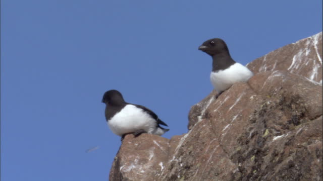 vídeos y material grabado en eventos de stock de zo, ms, la, two little auks (alle alle) on top of rock, russia - pájaro acuático