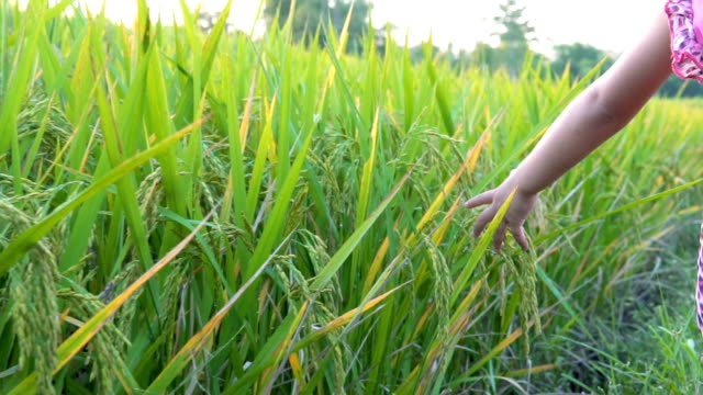 two little girl hand touch green grass in rice field. rural and natural scenery - rice stock videos & royalty-free footage