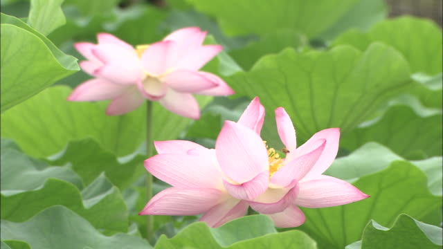 two lotus flowers in blossom, japan - sacred lotus stock videos and b-roll footage