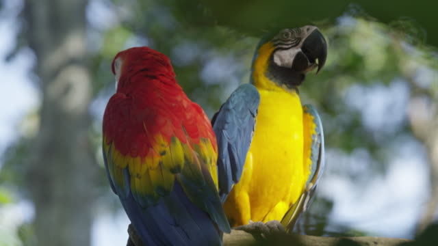 two macaws in the amazon rainforest, peru. - scarlet macaw stock videos and b-roll footage