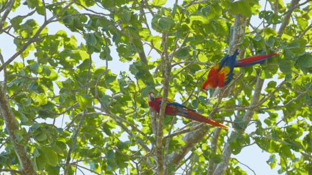 SLO MO Two macaws on a tree