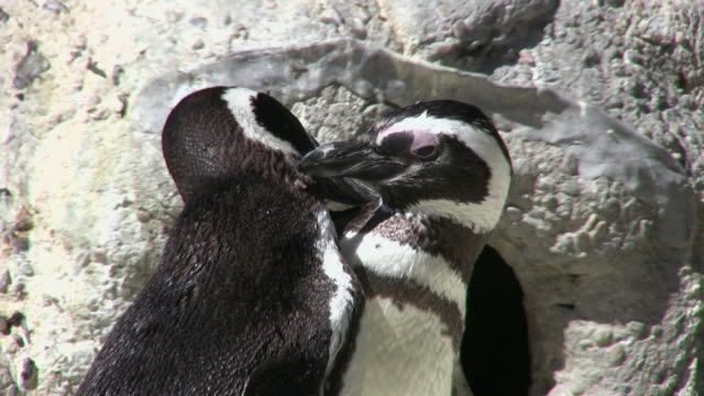 cu two magellanic penguins (spheniscus magellanicus) grooming each other, san francisco zoo, california, usa - 動物園点の映像素材/bロール