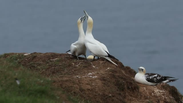 two magnificent courting gannet, morus bassanus, displaying standing on the edge of a cliff in the uk. - affectionate stock videos & royalty-free footage