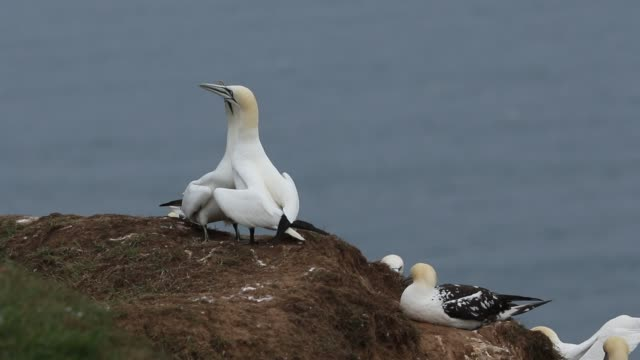 vídeos y material grabado en eventos de stock de two magnificent courting gannet, morus bassanus, displaying standing on the edge of a cliff in the uk. - bempton