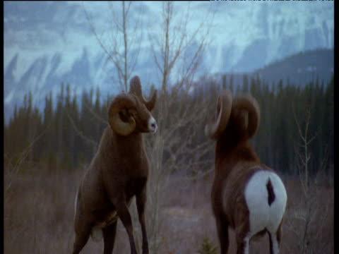 Two male bighorn sheep crash heads together during rut, Jasper National Park, Canada