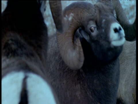 two male bighorn sheep crash heads together during rut, jasper national park, canada - testa video stock e b–roll