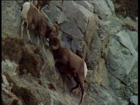 two male bighorn sheep on cliff face crash heads together during rut, jasper national park, canada - horned stock videos & royalty-free footage