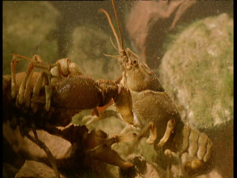 vídeos de stock e filmes b-roll de two male crayfish in combat amongst rocks on seabed - lagostim animal
