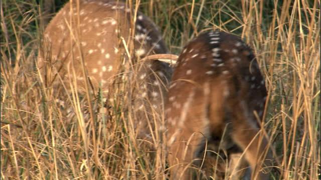 vídeos y material grabado en eventos de stock de two male deer are fighting with blood in the mouth - medium shot - medium group of animals