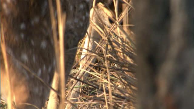 vídeos y material grabado en eventos de stock de two male deer fighting and pushing fiercely behind the grasss - medium shot - medium group of animals