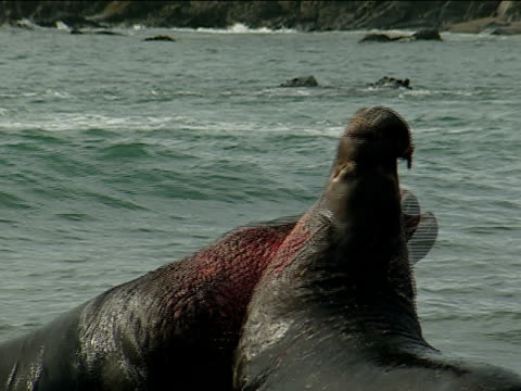 stockvideo's en b-roll-footage met two male elephant seals fight in the water. - zeeolifant