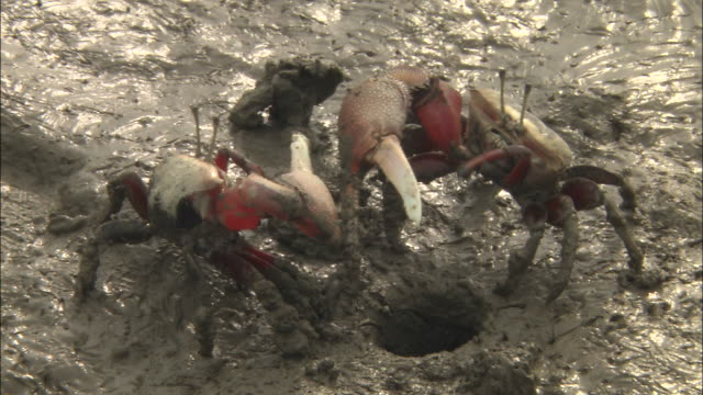 Two male fiddler crabs fighting