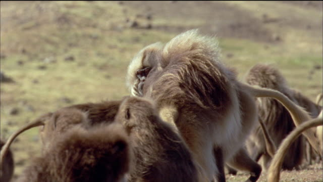 Two male Gelada baboons square off against each other and then fight. Available in HD.