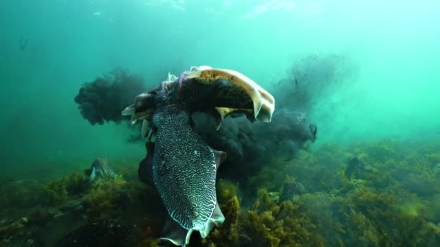 two male giant cuttlefish fighting for the right to mate with a female during the migration and mating season for these animals. the cuttlefish squirt large amounts of black ink to disorient and confuse their opponent. - cuttlefish stock videos and b-roll footage