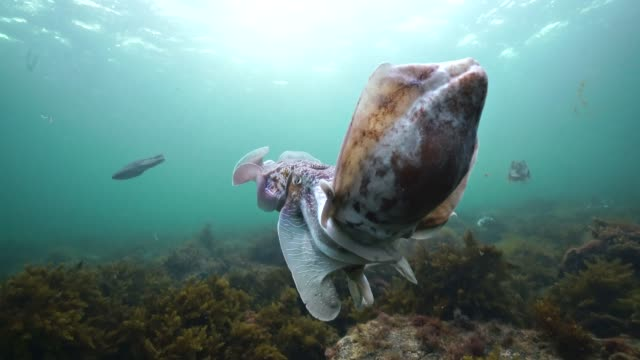 stockvideo's en b-roll-footage met two male giant cuttlefish fighting for the right to mate with a female during the migration and mating season for these animals. - duurzaam toerisme