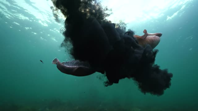 vídeos y material grabado en eventos de stock de two male giant cuttlefish fighting for the right to mate with a female. filmed during the migration and mating season for these animals during the winter months just south of point lowly, south australia. - tentáculo