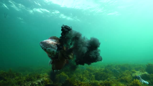 vídeos y material grabado en eventos de stock de two male giant cuttlefish fighting for the right to mate with a female, with lots of ink being squirted. filmed during the migration and mating season for these animals during the winter months just south of point lowly, south australia. - pulpo