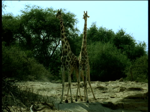two male giraffe fight by swinging their necks and using their heads as clubs, namibia - männliches tier stock-videos und b-roll-filmmaterial