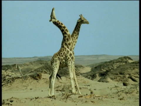 two male giraffe swinging their necks at each other but miss three times in a row, namibia - 攻撃的点の映像素材/bロール