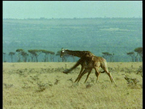 two male giraffes fight by hitting each other with their heads and necks. - bbc stock videos and b-roll footage