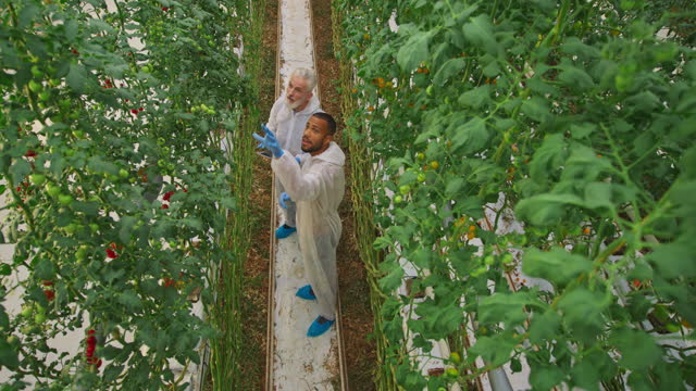 cs two male greenhouse technicians talking about the tomato plants in the high-tech greenhouse - technician stock videos & royalty-free footage