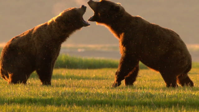 vídeos de stock, filmes e b-roll de two male grizzly bears fight over a female grizzly - animal
