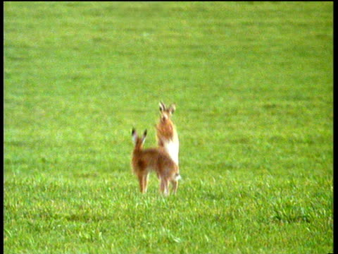 two male hares fighting in green field; one runs away while the other chases. - kämpfen stock-videos und b-roll-filmmaterial