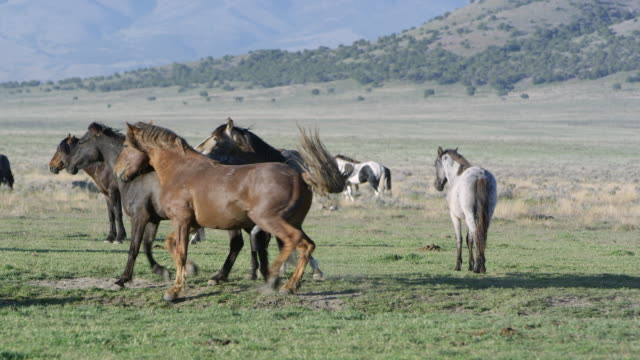 Two male horses trying to mate with female