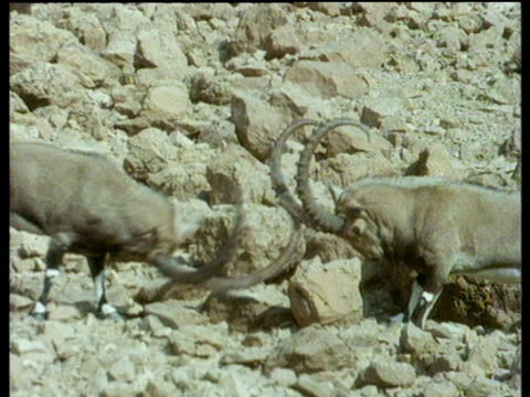 two male ibex fighting by slamming horns into each other on rocky slope. - bbc stock videos and b-roll footage