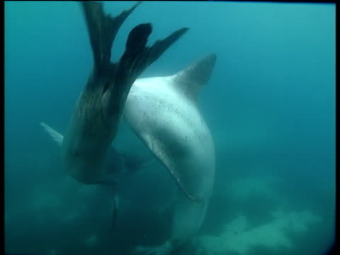 stockvideo's en b-roll-footage met two male leopard seals turn and circle with one another, dream island - dierlijk gedrag