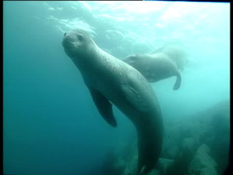 vídeos de stock, filmes e b-roll de two male leopard seals writhe together, dream island - male friendship