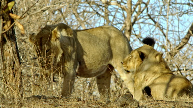 two male lion - play fight - high speed photography stock videos & royalty-free footage