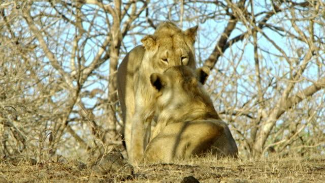 vídeos y material grabado en eventos de stock de two male lion - play fight - animales acechando