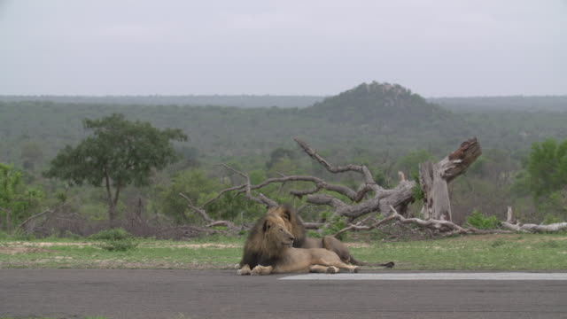 two male lions glance around from an airstrip in the kruger national park, south africa - sideways glance stock videos & royalty-free footage