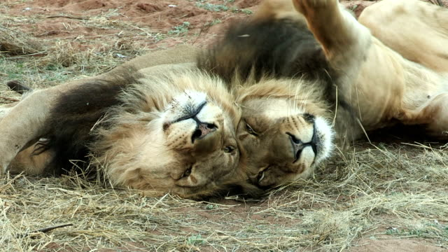 Two male lions lying side by side