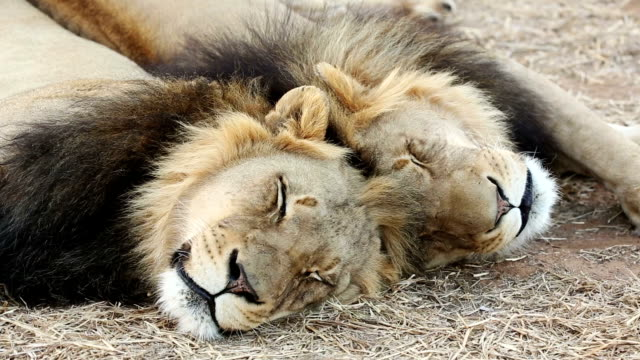 two male lions lying with their heads next to each other - bedrohte tierart stock-videos und b-roll-filmmaterial